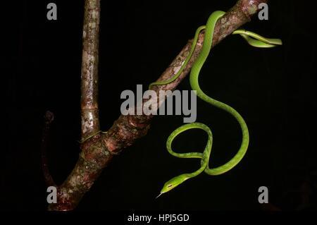 Un verde brillante serpiente látigo Orientales (Ahaetulla prasina) en la selva por la noche en el Parque Nacional Kubah, Sarawak, Borneo, Malasia Oriental