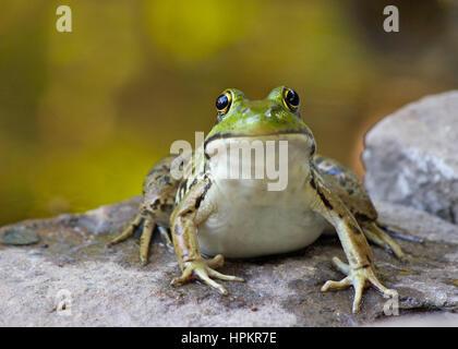 Al norte una rana verde (Rana clamitans) sentado a la orilla de un estanque