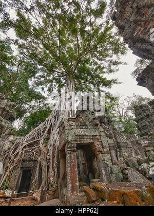 Árbol en templo Ta Prohm ruina en el sitio de Angkor en Siem Reap, Camboya