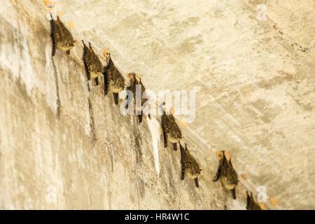 Menor de hocico largo grupo de murciélagos descansando durante el día debajo de un puente en la región del Pantanal de Brasil, en América del Sur. Menor de hocico largo murciélagos roost d