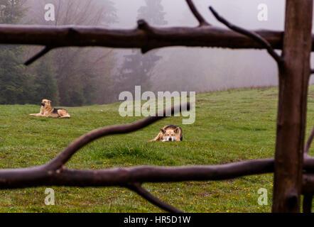 Los perros pastores acostarse sobre una ladera misty mañana de primavera
