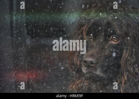East Sussex, Reino Unido. El 27 de febrero de 2017. Triste buscando perro mirando por una ventana salpicada de lluvia Foto de stock