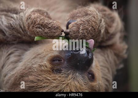 Linneo dos dedos cada sloth (Choloepus didactylus), también conocido como el sur de dos vetado la pereza.