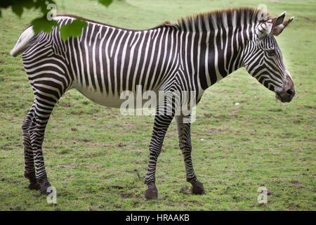 La Cebra de Grevy (Equus grevyi), también conocido como el imperial zebra.