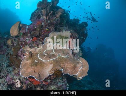 Close-Centrar vista gran angular de la placa coral Pachyseris speciosa sobre un arrecife de coral, muestra signos de deterioro de la salud. La isla de Bunaken, Indonesia.