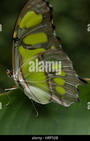 Butterfly (Siproeta Stelenes Malaquita) fotografiado en Foz do Iguaçu - Paraná - Brasil