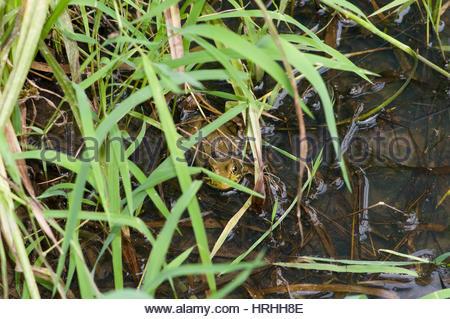 Rana toro en un pantano