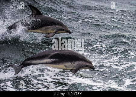 Delfín oscuro (Lagenorhynchus obscurus) saltando, Canal Beagle, Tierra del Fuego, Argentina