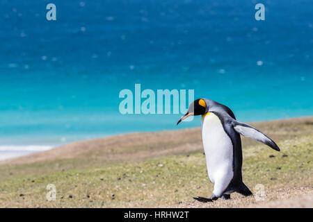 Adulto de pingüino rey (Aptenodytes patagonicus) en las verdes laderas de la Isla Saunders, Islas Malvinas