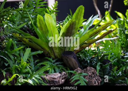 Asplenium nidus verde es una especies de helechos epífitos en el jardín