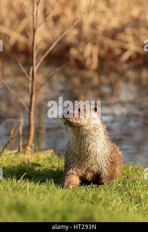 Nutria surgió del estanque sobre la hierba mirando alerta.