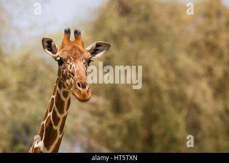 Retrato de una jirafa reticulada (Giraffa camelopardalis reticulata), Samburu, Kenia