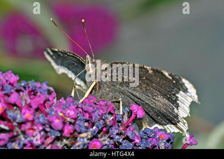 Belleza Camberwell Nymphalis antiopa (mariposas), alimentándose de una flor buddleia Foto de stock