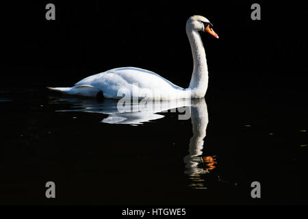 Gales Aberystwyth, Reino Unido Miércoles 15 de marzo de 2017, el clima del Reino Unido: un hermoso cisne blanco graciosamente las palas en el agua calma de puerto en un día de cielo azul claro y brillante sol primaveral caliente ininterrumpida en Gales Aberystwyth photo credit: Keith Morris/Alamy Live News