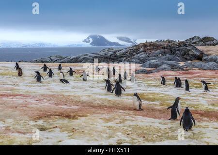 Pingüinos Gentoo va a nadar, en isla Peterman, Antártica Foto de stock