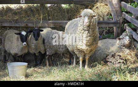 En la granja de ovejas Merino