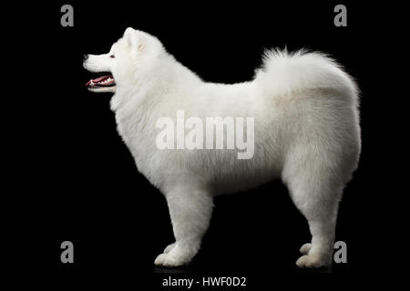 Perro samoyedo aislado sobre fondo negro