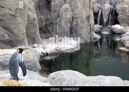 Pingüino Rey (Aptenodytes patagonicus) en el recinto al aire libre con piscina en el zoológico de Calgary.