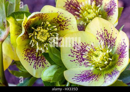 Helleborus orientalis 'Gelber Smetterling', Lenten Rose, Lenten hellebore, oriental hellebore en flor hellebores
