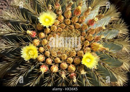 Cactus barril dorado (Echinocactus grusonii), Jardín Botánico Viera y Clavijo, Gran Canaria, Islas Canarias, España