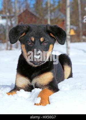 Retrato de lindo cachorro cruce pastor alemán jugando en la nieve fresca.