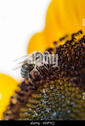 Extreme close-up de abeja / la abeja melífera (Apis mellifera) insecto recogiendo polen de un girasol
