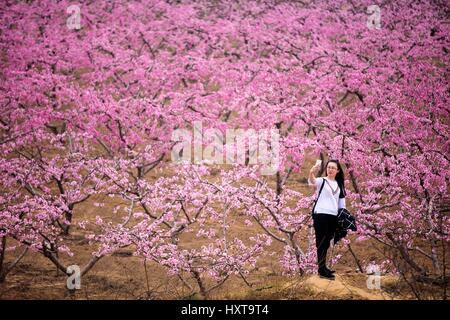 Yuncheng, la Provincia china de Shanxi. 29 Mar, 2017. Un visitante toma selfie con Peach Blossoms en Pinglu, al Foto de stock