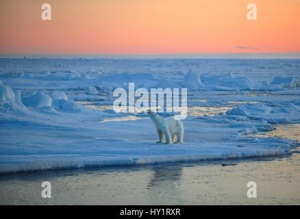 RF- el oso polar (Ursus maritimus) sobre bloques de hielo, olfatear el aire al atardecer, Svalbard, Noruega, en septiembre de 2009. Especies en peligro de extinción.