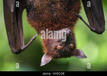 Gran flying fox malaya close-up retrato