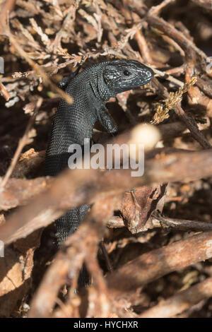 Variante de color melanistic inusual de lagarto ovíparos (también conocido como lagarto común Zootoca vivipara) en un sitio seco landa en Surrey, Reino Unido
