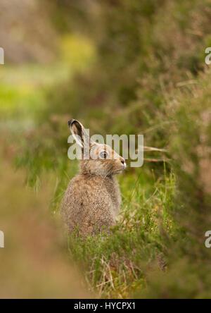 La liebre de montaña, Lepus timidus, solo adulto en verano cubra sentarse erguido sobre páramos. Tomado de junio. Las Highlands, Escocia, Reino Unido.