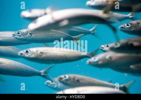 Pescado fotografía subacuática