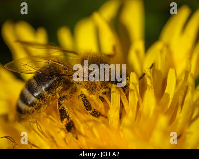 Miel de Abeja en flor amarilla, cerca de Macro Foto de stock