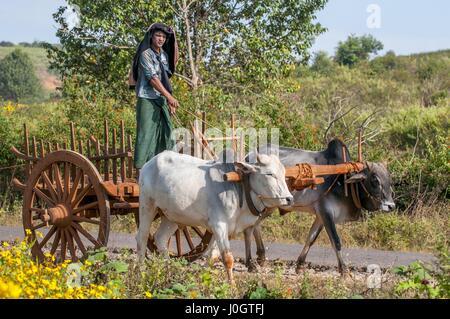 El hombre rural birmana conduce carro de madera con heno en carretera polvorienta dibujado por dos búfalos blancos. Paisaje rural y tradicional aldea la vida en Birmania count
