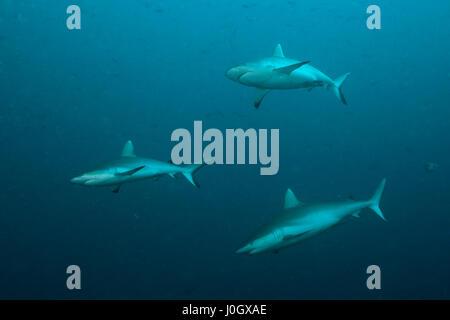 Tiburón gris de arrecife, Carcharhinus amblyrhynchos, South Male Atoll, Maldivas