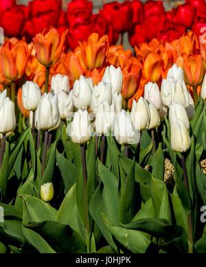 Blanco, Naranja y tulipanes rojos en la primavera de cama de flor en el exterior