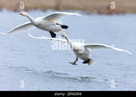 Pareja de cisnes cantores, Cygnus cygnus, en vuelo y aterrizaje con las alas extendidas en el centro de humedales Welney, Norfolk, UK