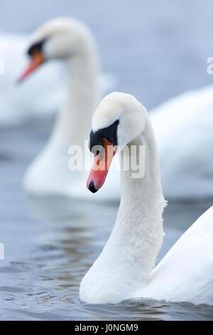Cisne, Cygnus olor, en el centro de humedales Welney, Norfolk, UK