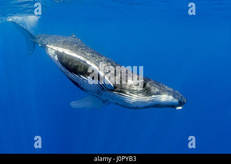 La ballena jorobada, Megaptera novaeangliae, Hawaii, EE.UU.