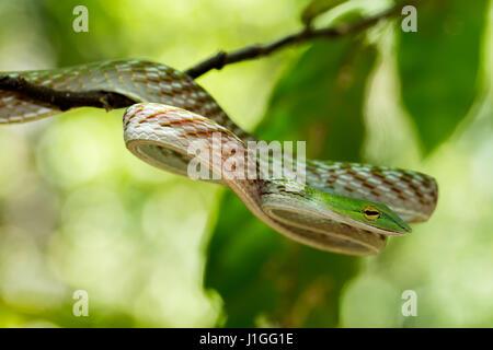 Whipsnake orientales, Asiáticos Vid Serpiente verde (Ahaetulla prasina) Tangkoko Reserva Natural en el norte de Sulawesi, Indonesia wildlife