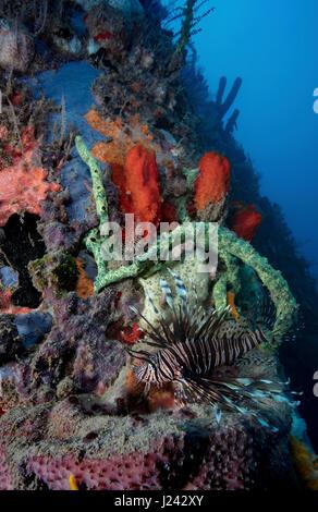 Pez león invasiva en arrecife en Dominica