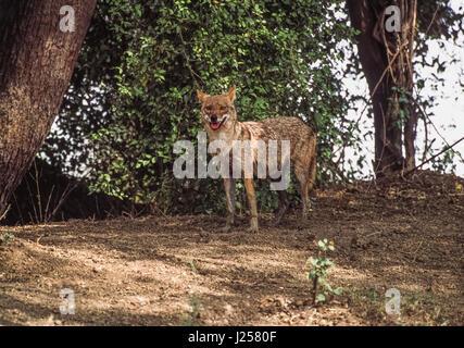 India hembra Chacal, Canis aureus indicus,mostrando tetas, Parque Nacional Velavadar, Gujarat, India