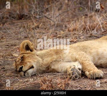 Impresionante cachorro de león salvajes descansando en el monte
