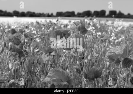 Papaver rhoeas AMAPOLA amapola común campo contra un campo de colza amarillos