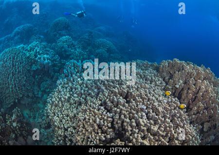Scuba Diver aparentemente sobrevuela montañoso de corales en el Mar Rojo, frente a las costas del sur de Egipto.
