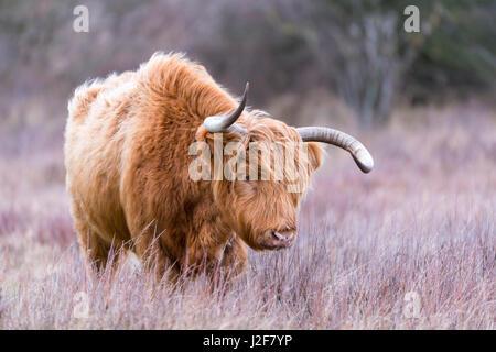 Highland bull en dune pastizal durante el invierno