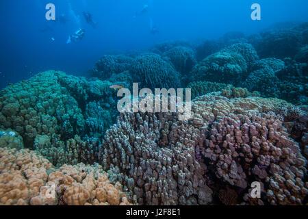 Los submarinistas exploran prístina coloridos arrecifes de coral en el Mar Rojo se extiende más allá de los ojos pueden ver. Puerto Ghalib, Egipto.