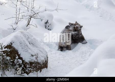 Dos 1-año-viejo crías de oso pardo (Ursus arctos arctos) jugar combates en la nieve en invierno