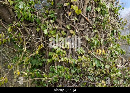 Antigua y arraigada la hiedra común, Hedera helix, torcer y entrelazadas alrededor del tronco de un árbol con las hojas parcialmente retirado para mostrar la Foto de stock
