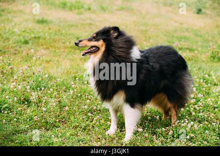El Tricolor, Rough Collie Collie Collie Long-Haired escocés, Inglés, Collie, Lassie perro adulto, quedándose en el pasto verde